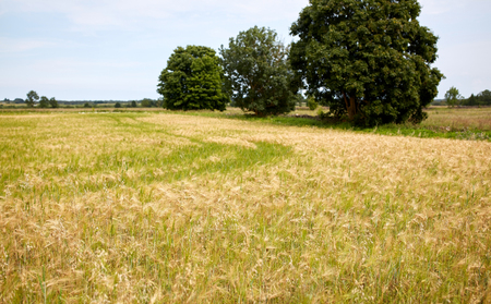 nature, summer, landscape, harvest and agriculture concept - cereal field with spikelets of ripe rye or wheat