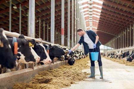 Człowiek karmienia krów w oborze z siana na farmie mlecznej