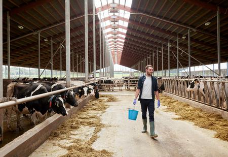 persona caminando: vacas y el hombre con el compartimiento de heno caminando en la granja Foto de archivo