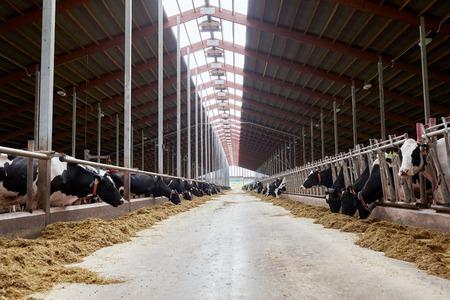 Herde Kühe Heu im Kuhstall auf Molkerei Essen Standard-Bild - 68454921