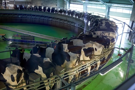 milking cows at dairy farm rotary parlour system