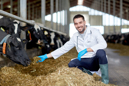 veterinarian feeding cows in cowshed on dairy farm 스톡 콘텐츠