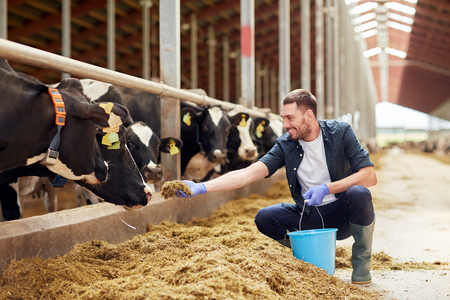 man feeding cows with hay in cowshed on dairy farm