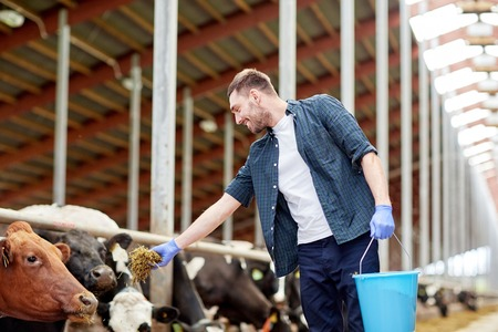 stock breeding: man feeding cows with hay in cowshed on dairy farm