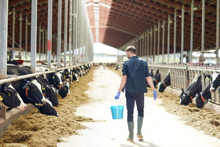 man with bucket walking in cowshed on dairy farm Фото со стока