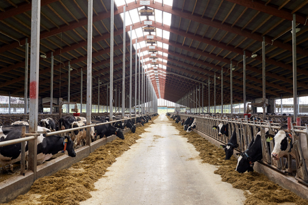 herd of cows eating hay in cowshed on dairy farm Фото со стока