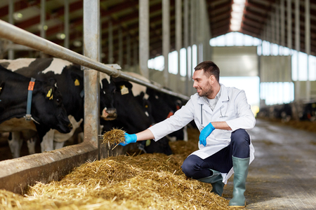 livestock: veterinarian feeding cows in cowshed on dairy farm Stock Photo