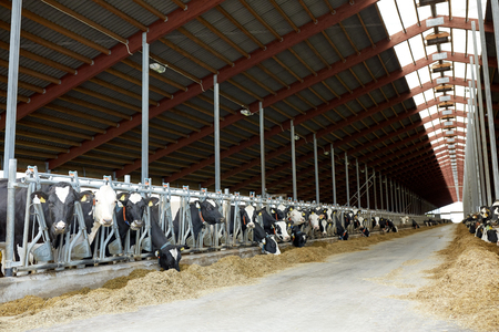 herd of cows eating hay in cowshed on dairy farm Reklamní fotografie