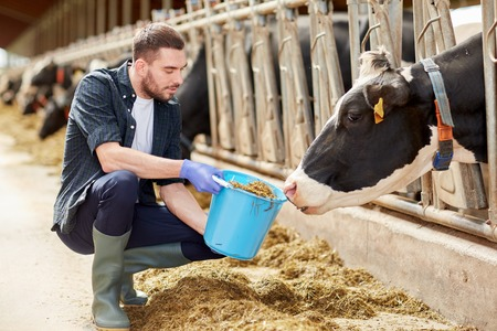 man with cows and bucket in cowshed on dairy farm Banco de Imagens