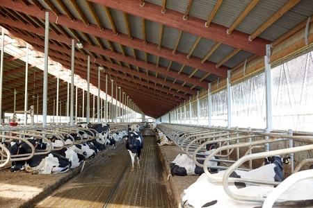 젖소가 낙농장에서 안정적으로 살고있다.