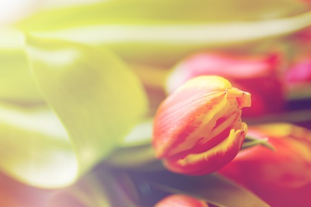 floristics: flora, gardening and plant concept - close up of tulip flowers