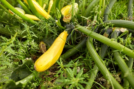 vegetable, gardening and farming concept - squashes at summer garden bed Stock Photo