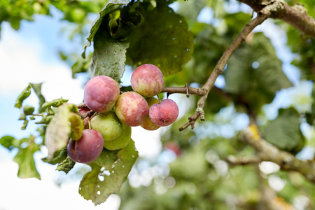tree farming: nature, botany, gardening and flora concept - close up of plum tree branch