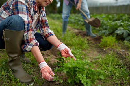 weeding: senior couple working in garden or at summer farm