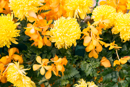floral objects: gardening, botany, nature and flora concept - beautiful yellow chrysanthemums and orchid flowers