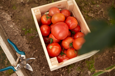 agricultural life: vegetable, gardening and farming concept - red tomatoes in wooden box at summer garden