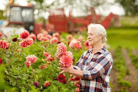 farming, gardening and people concept - happy senior woman with dahlia flowers blooming at summer garden Фото со стока - 76882518