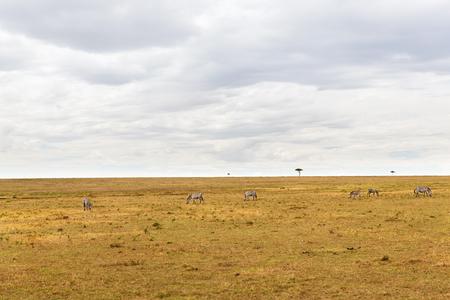 zebras grazing in savannah at africa Stock Photo