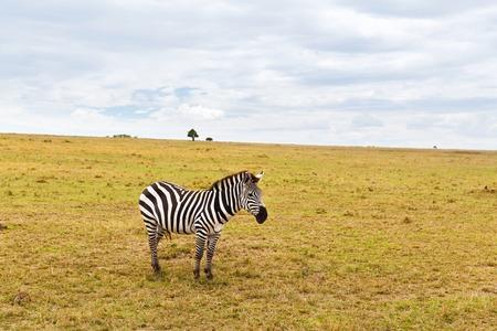 zebra grazing in savannah at africa
