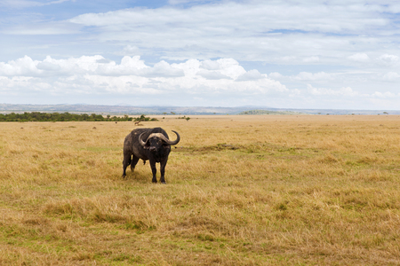 buffalo bull grazing in savannah at africa