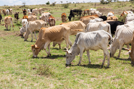 herd of cows grazing in savannah at africa Banco de Imagens