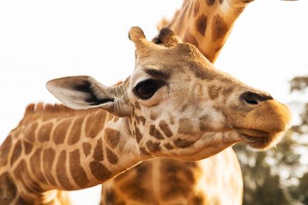 dier, aard en het wildconcept - sluit omhoog van giraffen in Afrika
