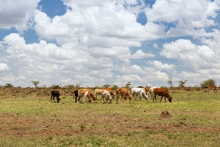 animal, nature, cattle and wildlife concept - herd of cows grazing in savannah at africa