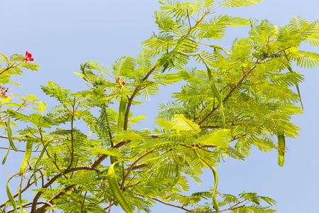 Fabaceae: gardening, nature, botany and flora concept - delonix regia or flame tree outdoors