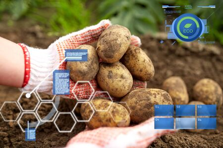 organic farming, agriculture and people concept - farmer with potatoes at farm garden Фото со стока