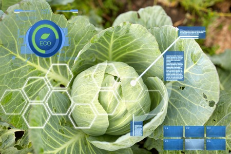 agriculture, gardening and organic farming concept - cabbage growing on summer garden bed at farm Фото со стока