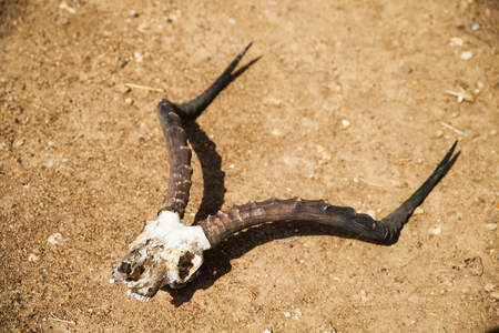 impala antelope skull with horns on ground