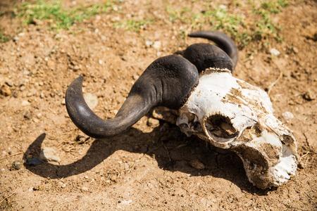wildebeest skull with horns on ground