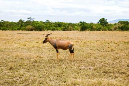 topi antelope grazing in savannah at africa Stock Photo