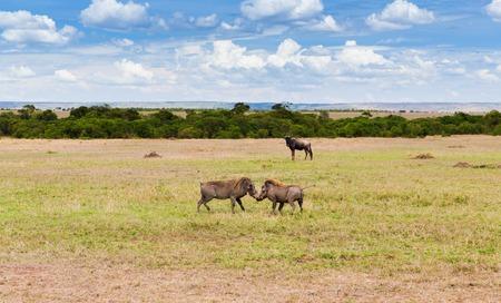 warthogs fighting in savannah at africa Stock Photo