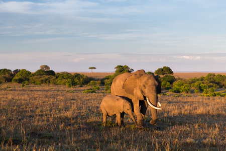 herbivores: elephant with baby or calf in savannah at africa Stock Photo