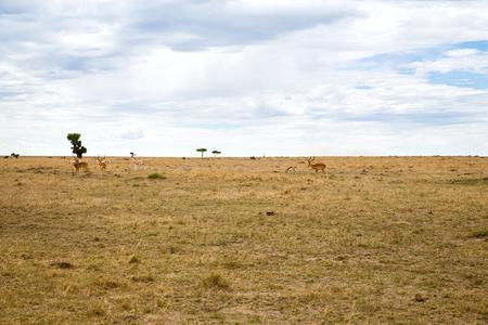 groep gazelles die in savanne in Afrika weiden Stockfoto