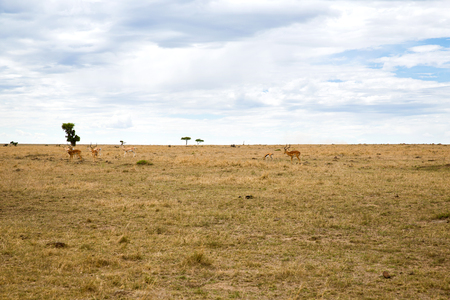 group of gazelles grazing in savannah at africa