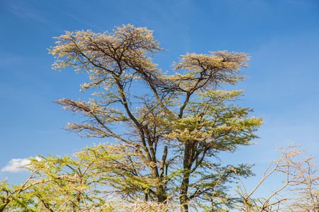 acacia trees in savannah at africa Stock Photo