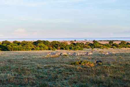 zebras herd grazing in savannah at africa Stock Photo