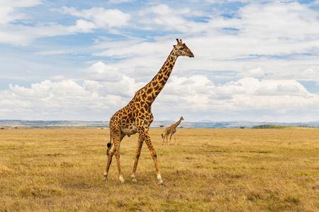 giraffes in savannah at africa Standard-Bild