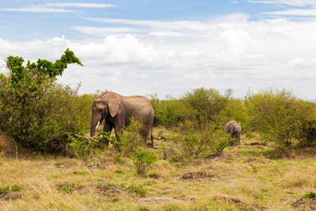 elephant with baby or calf in savannah at africa Stock Photo