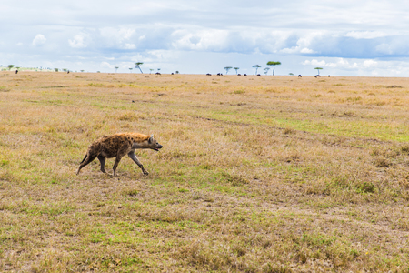 hyena hunting in savannah at africa Stock Photo