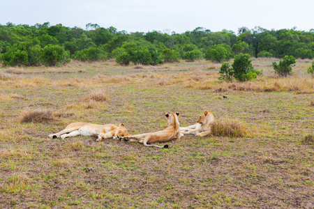 animal, nature and wildlife concept - pride of lions resting in maasai mara national reserve savannah at africa Imagens
