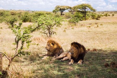 アフリカのサバンナで休んで男性ライオンズ 写真素材