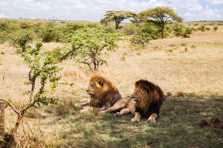 아프리카에서 사바나에서 쉬고 남성 사자 스톡 콘텐츠