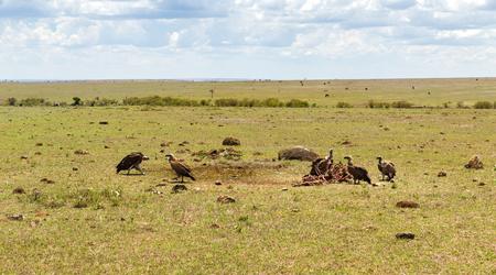 アフリカのサバンナで腐肉を食べているハゲワシ