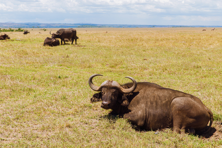 buffalo bulls grazing in savannah at africa Banco de Imagens