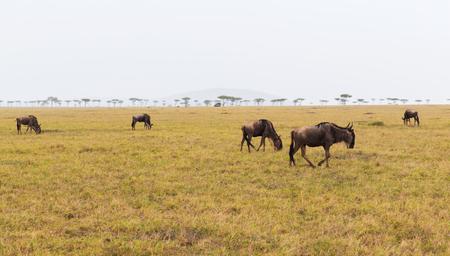Wildebeesten grazen in savanne in Afrika
