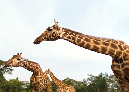 giraffes at national reserve or park in africa