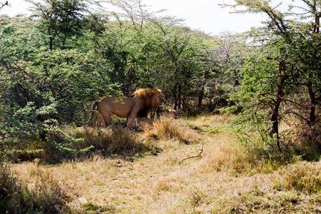 동물, 자연과 야생 동물 개념 - 마사 마라 국립 국가 보호구에서 휴식하는 사자 자부심 아프리카에서 사바나